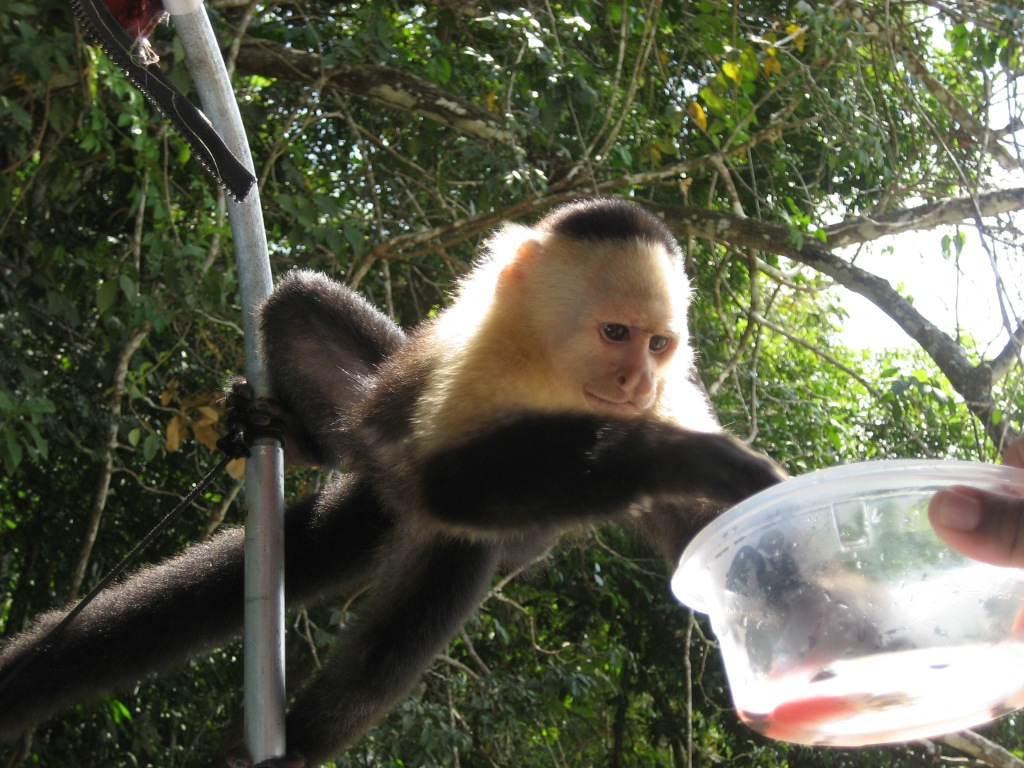 This image has an empty alt attribute; its file name is panama1-monkey-sampling-fruit.jpg